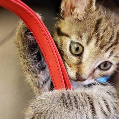Babykatze in Großaufnahme mit Handyhülle beim Spielen